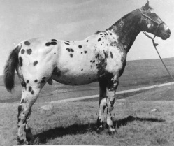 Topatchi stallone appaloosa by toby II