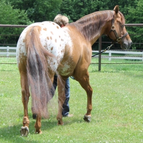stallone appaloosa CHOCOLATEY 3