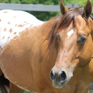 stallone appaloosa CHOCOLATEY 4