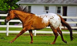 stallone appaloosa CHOCOLATEY 5