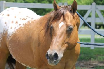 stallone appaloosa CHOCOLATEY2