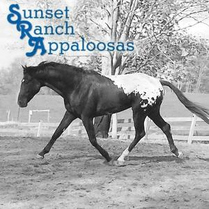sunset-ranch-appaloosas-breeding