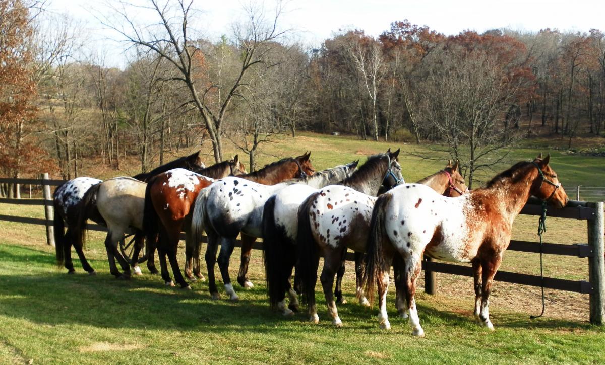 Appaloosa Paint Horses For Sale
