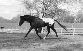 Wapuzzan - Appaloosa Sport Horse Stallion