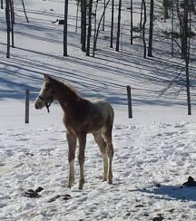 Wapz Shawne Bugz sport appaloosa gelding foal 3