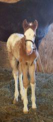 Wapz Shawne Bugz sport appaloosa gelding foal 4