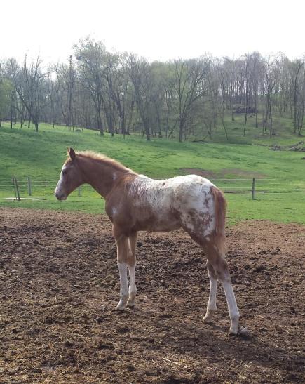 Wapz Shawne Bugz sport appaloosa gelding foal