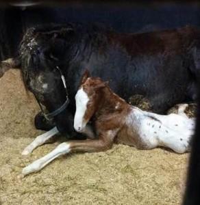 Wapz Shawne Bugz sport appaloosa gelding foaled and his mum