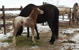 Wapz Shawne Bugz sport appaloosa gelding foaled