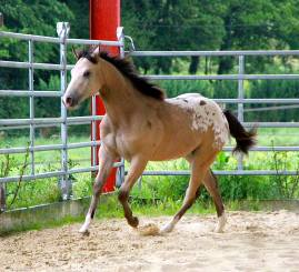Appaloosa CB JACS STARLIGHT