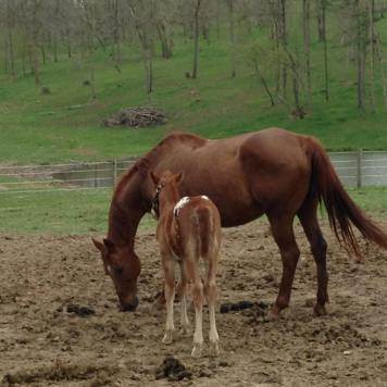 sport appaloosa colt 2016 and his mare