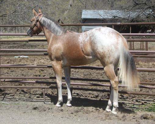 My Check is Good appaloosa gelding blanket