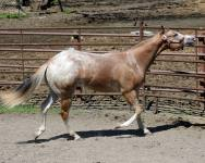 My Check is Good appaloosa gelding neck