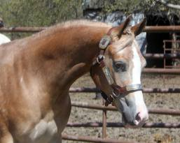 My Check is Good appaloosa gelding right eye