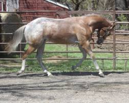 My Check is Good appaloosa gelding right