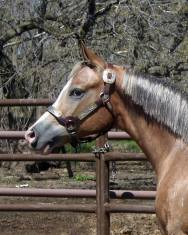 My Check is Good appaloosa gelding silver mane