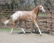 My Check is Good appaloosa gelding trot