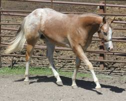 My Check is Good appaloosa gelding walk