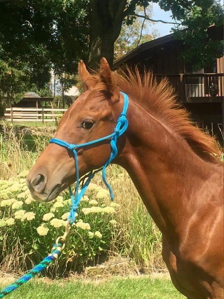 Wapz Special AAmerican appaloosa sorrel colt 2016 profile