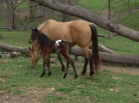 wapzziena-2016-dark-bay-appaloosa-filly mare