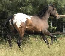 Appaloosa Filly KONDOS M-J