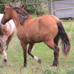 CB TOPS ROMAN JACS Appaloosa Yearling colt, Reining Prospect, very good origins rear