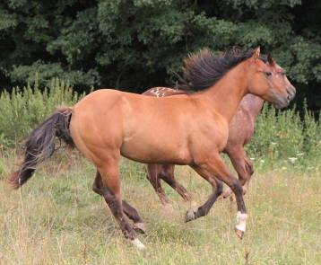 CB TOPS ROMAN JACS Appaloosa Yearling colt, Reining Prospect, very good origins right