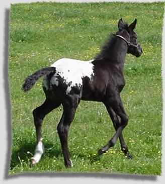 wapuzzan black sport appaloosa stallion colt