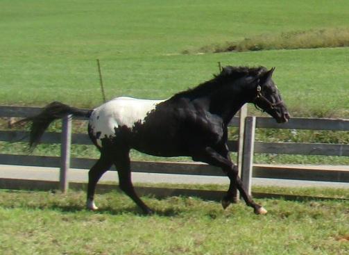 wapuzzan black sport appaloosa stallion pasture
