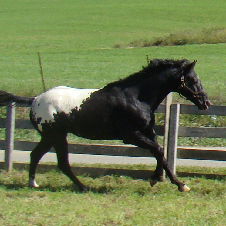 wapuzzan black sport appaloosa stallion pasture