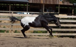 wapuzzan black sport appaloosa stallion play