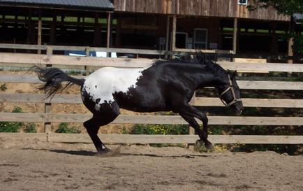 wapuzzan black sport appaloosa stallion play