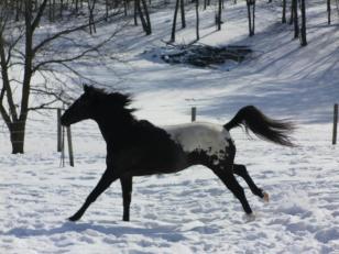 wapuzzan black sport appaloosa stallion snow