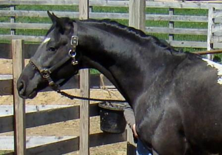 wapuzzan black sport appaloosa stallion..