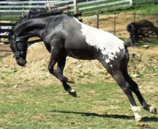 wapuzzan black sport appaloosa stallion........