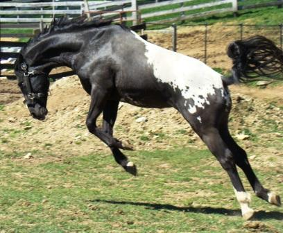 wapuzzan black sport appaloosa stallion........