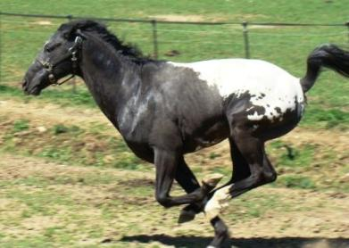 wapuzzan black sport appaloosa stallion.......