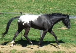 wapuzzan black sport appaloosa stallion......