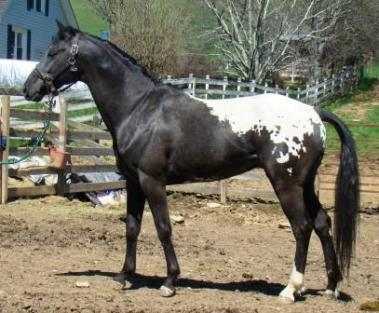 wapuzzan black sport appaloosa stallion...