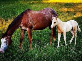 CRUISIN-PALOUSE-MIRAS-Appaloosa-Colt&Mother-2