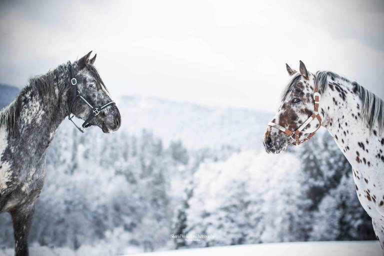germany appaloosa stallions at stud