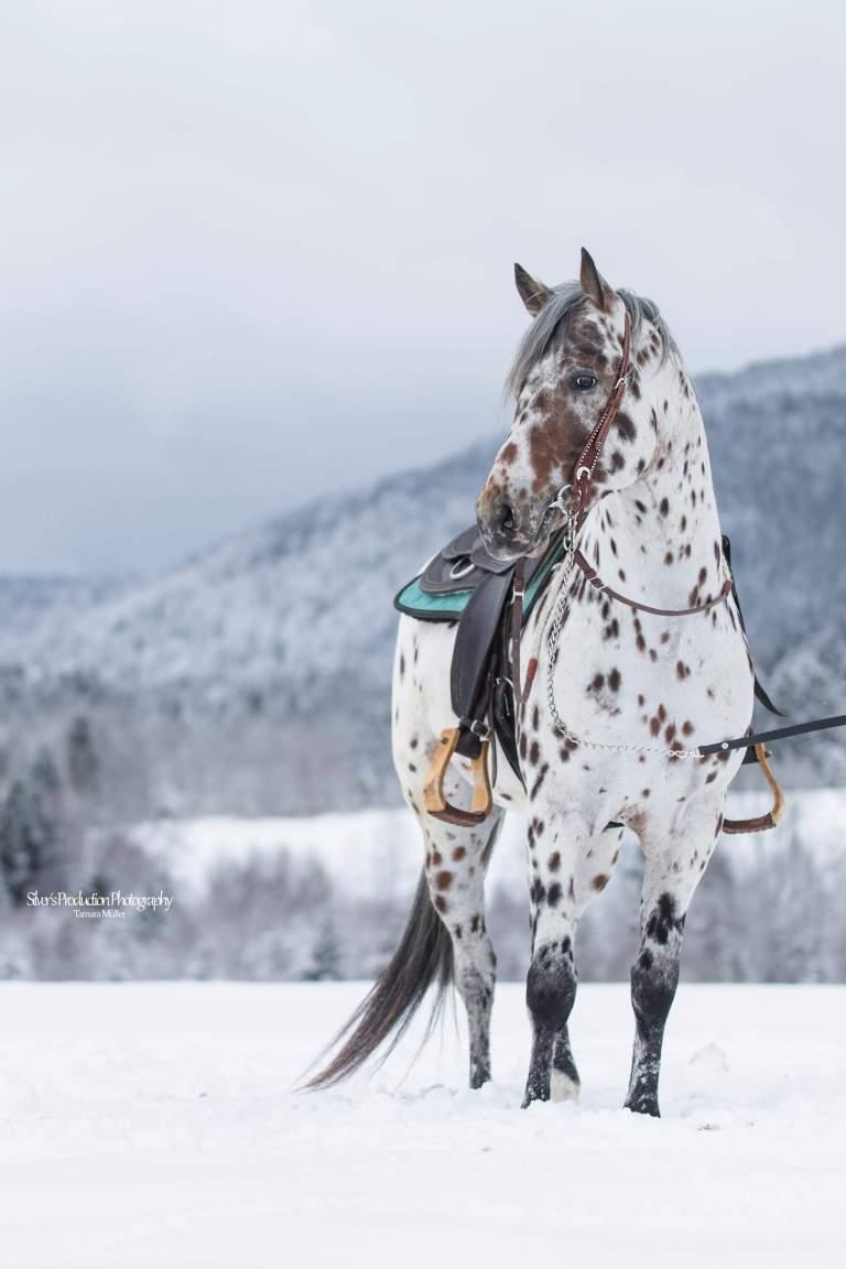 SPIRIT-LIL-JUSTIN-Appaloosa-Leopard-Stallion-2