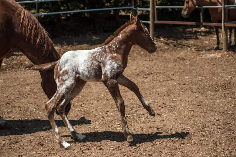 filly-appaloosa-sorrel-overo-1