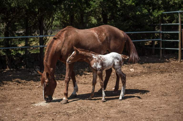 filly-appaloosa-sorrel-overo-2