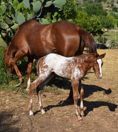 filly-appaloosa-sorrel-overo-5