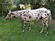 oor-sleeping-beauty-appaloosa-leopard-mare-6