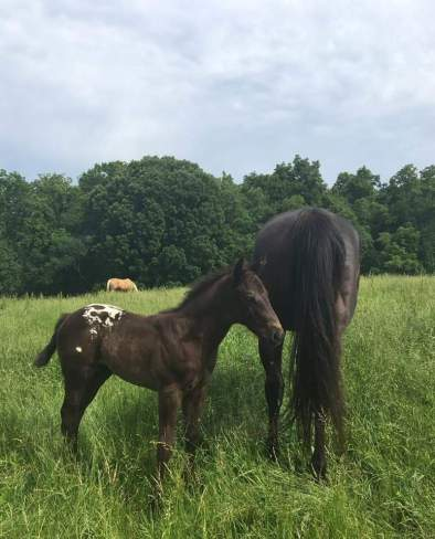 wapz-midnight-dezi-appaloosa-black-colt-2