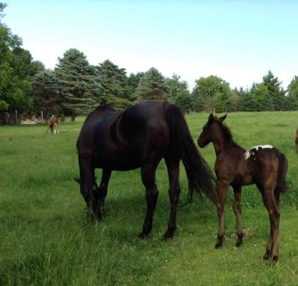 wapz-midnight-dezi-appaloosa-black-colt-5