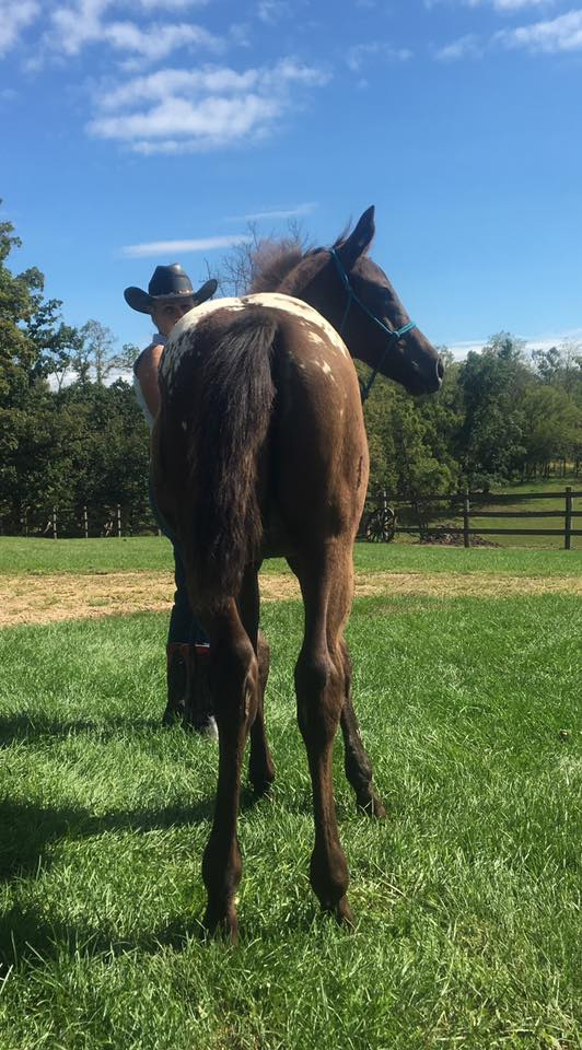 wapz-regal-jazmine-appaloosa-filly-for-sale-3.jpg